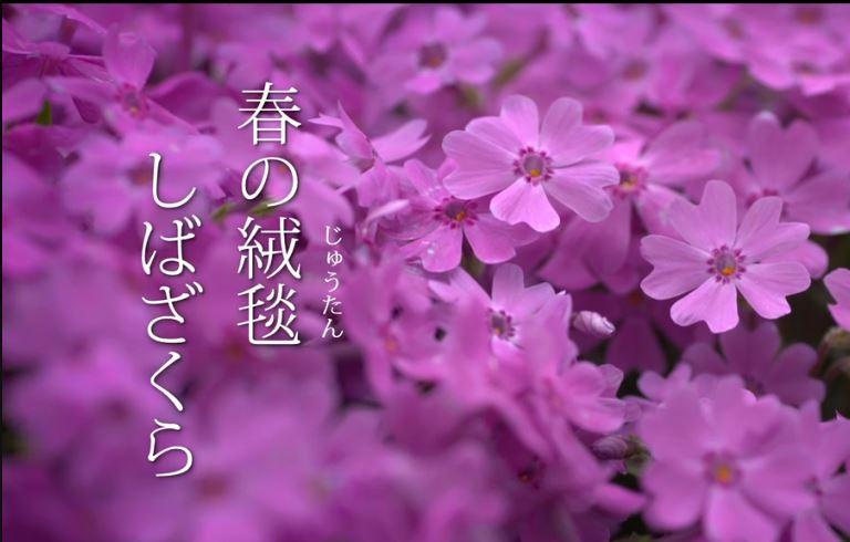 春の絨毯 しばざくら 動画