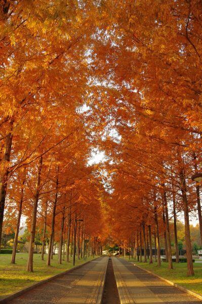 メタセコイアの紅葉:日本へそ公園