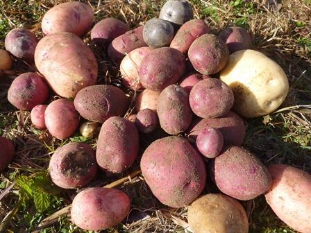 201220 【レポート】コロナに負けるな 野菜収穫体験