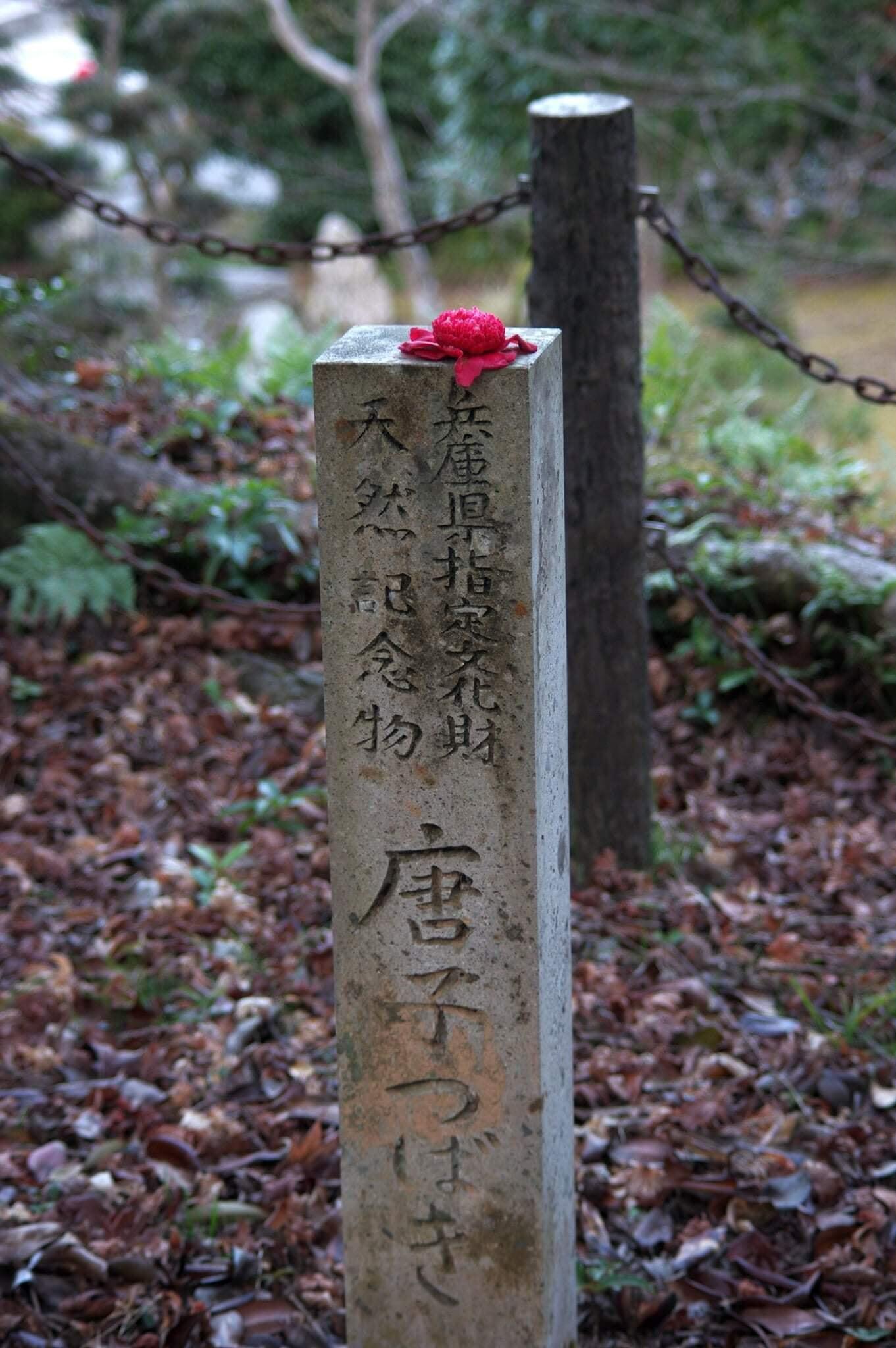 春の花だより:西林寺の唐子ツバキ