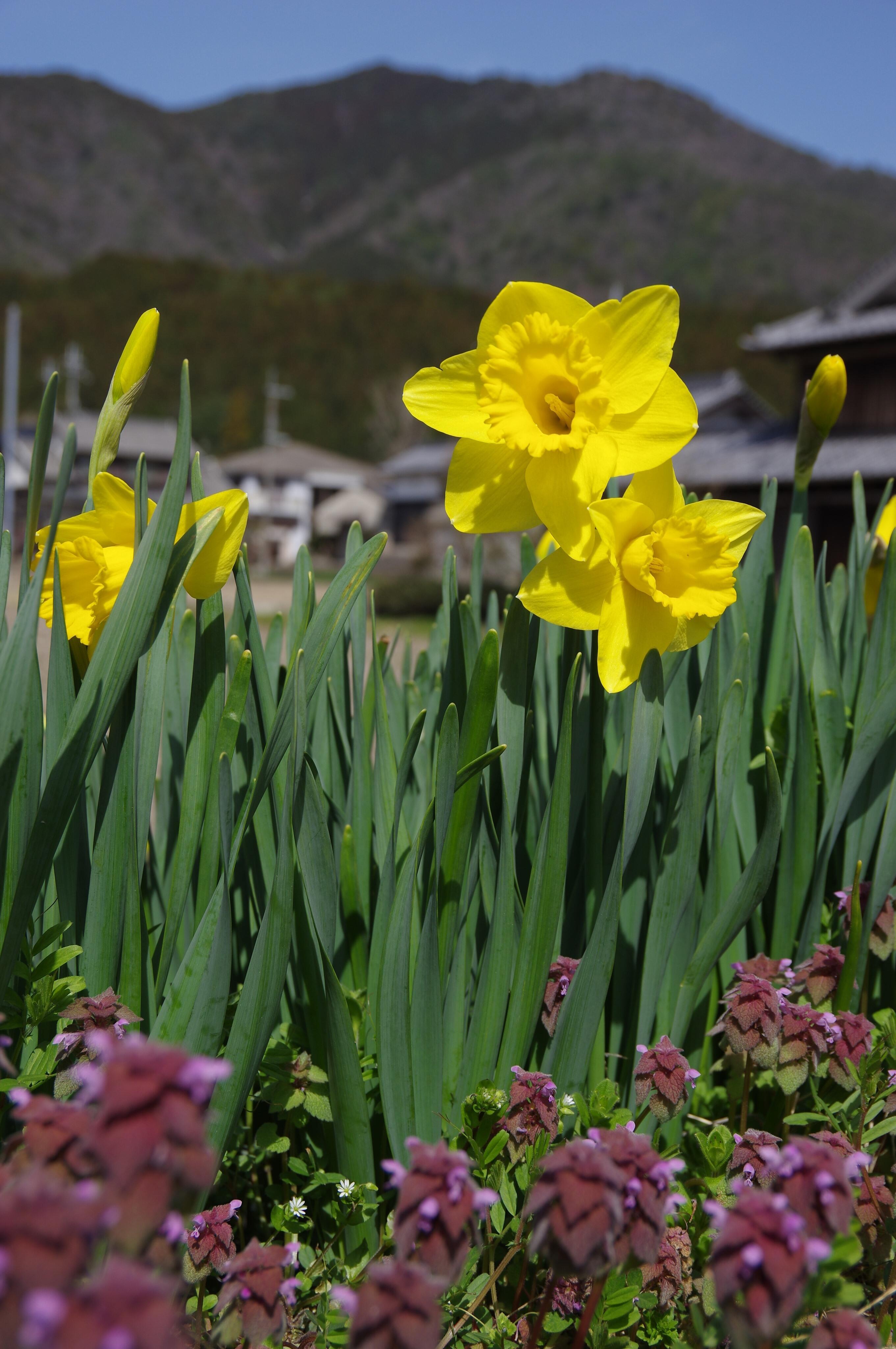 春の花だより:スイセン