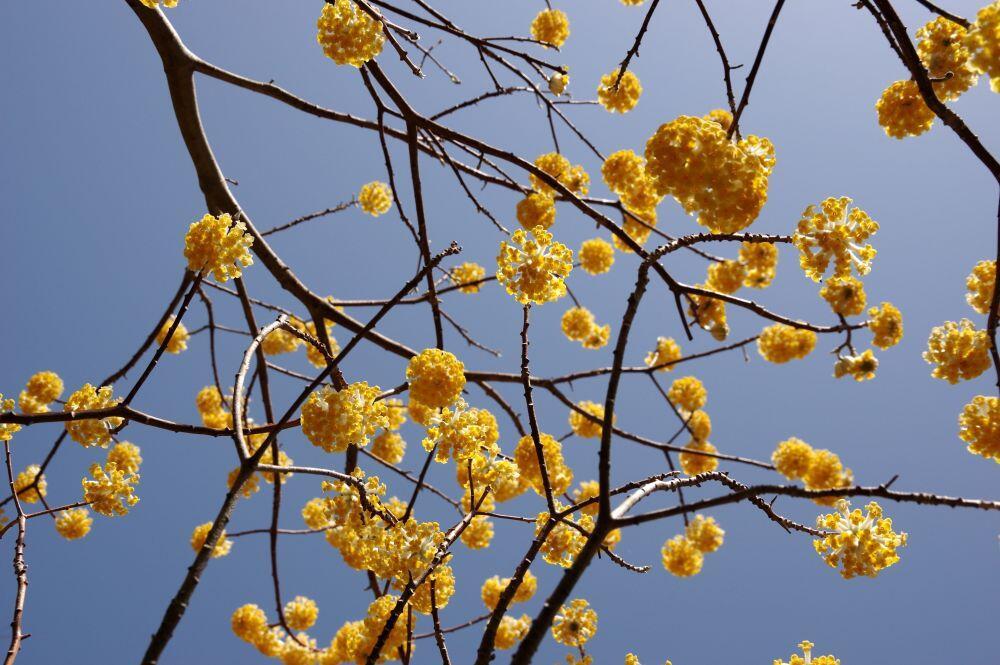 春の花だより:ミツマタ