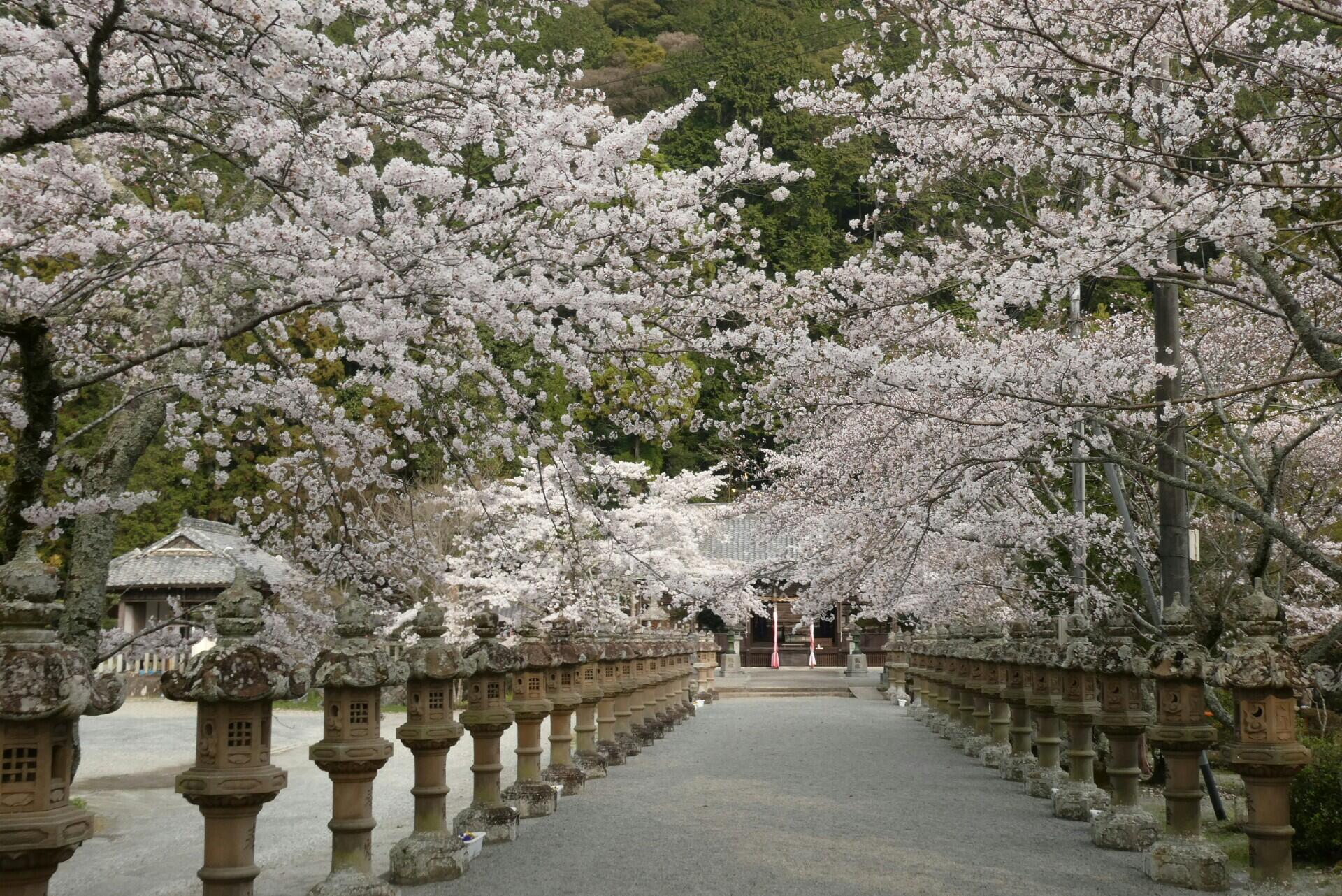 春の花だより:桜②