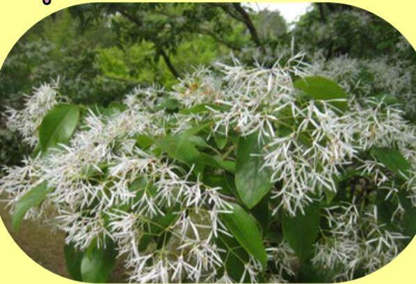 ヒトツバタゴ(なんじゃもんじゃ)の花が見ごろ:多可町余暇村公園