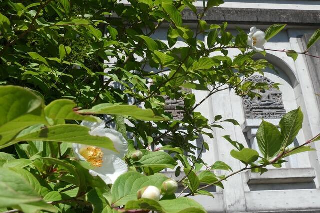 初夏の花〔ナツツバキ〕:成田山法輪寺